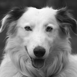 Grey Gyp by Chrissie Barrow - Black & White Animals ( monochrome, tongue, black and white, long hair, portrait, eyes, pet, ears, fur, grey, dog, mono, nose, lurcher, animal )