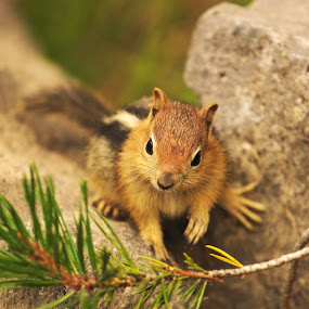 Between a Rock and...Another Rock - Golden-Mantled Ground Squirrel by Andrew Johnson - Animals Other Mammals