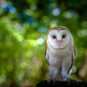 ... by Dmitry Samsonov - Animals Other ( barn owl, owl, game reserve, lisbon, tapada de mafara, portugal, bokeh,  )