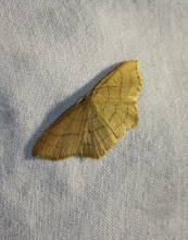 Photo: Cyclophora linearia   Lepidoptera > Geometridae