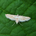 Aquatic Rice Moth