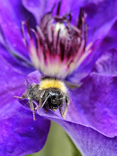 Photo: Sleepy Bee on Clematis flower I'm seeing quite a lot of sleeping bees, not just bumble bees but even tiny ones seemingly fast asleep inside flowers! This one was kind to pose for me on this pretty flower. I think it was just waking up after a long lie in. :-) The clematis is 'The President' by the way. Fabulous flowers.  For +Bee Thursday curated by +Dorothy Pugh #beethursday  ++In Praise of Polllinators curated by +Dusty Gedge whose theme I keep forgetting!! #inpraiseofpollinators