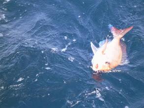 Photo: シイラを交わせば真鯛にありつけます。