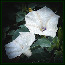 Sacred Datura by Dawn Hoehn Hagler - Digital Art Things ( tucson, arizona, jimson weed, photoshop, sacred datura, datura, flower, digital art )