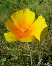 Photo: (Year 2) Day 334 - Californian Poppy