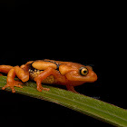 Resplendent Shrub Frog
