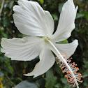 Dainty White Hibiscus