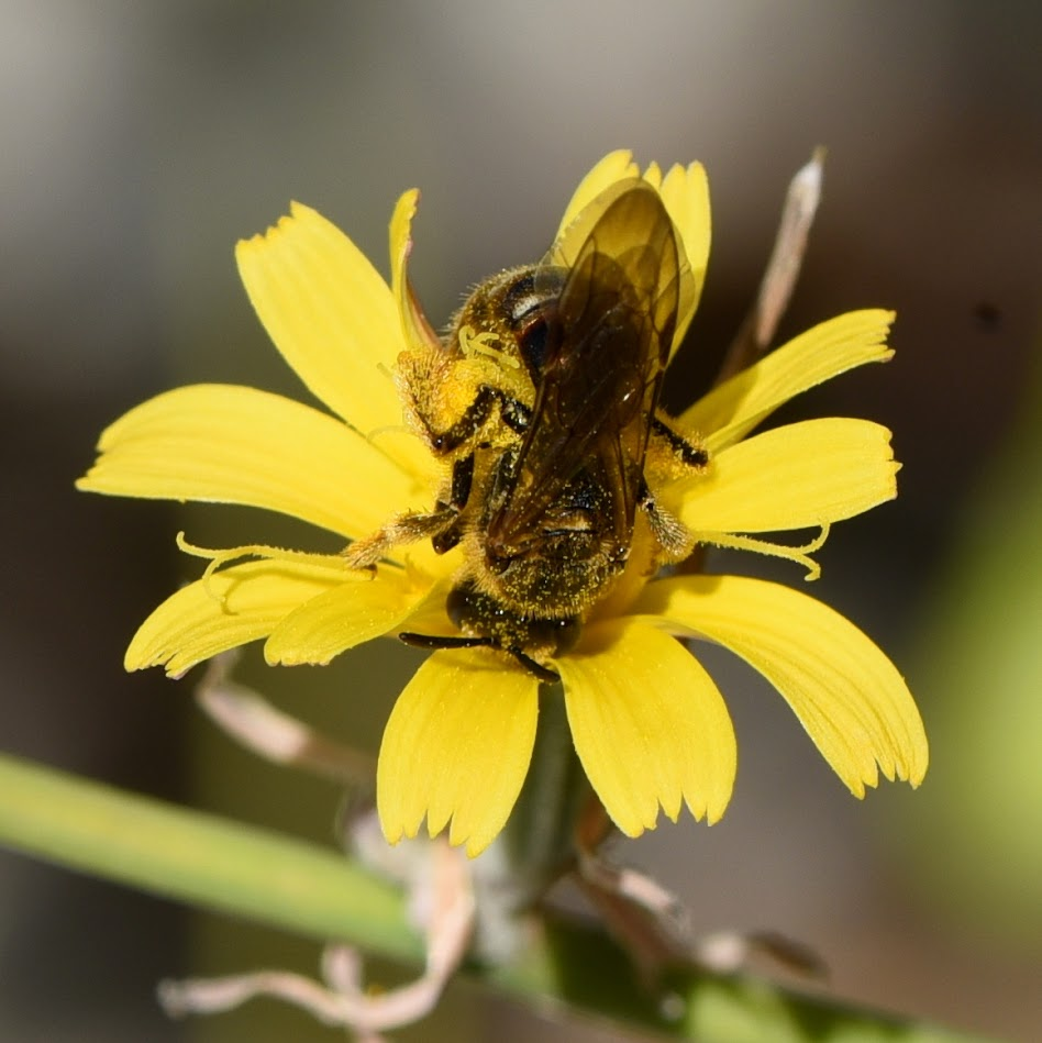 Groefbij - Lasioglossum species