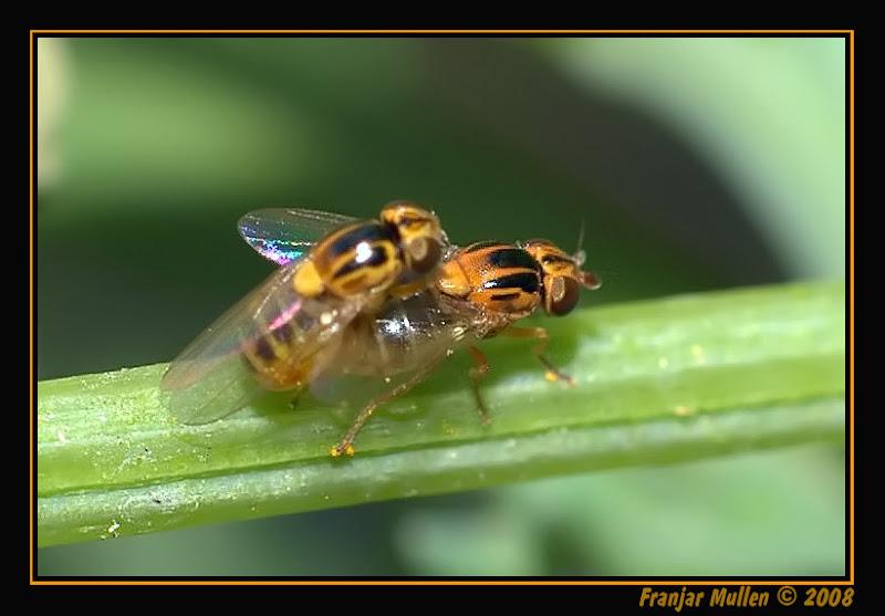 ¡OJO! es porno. Thaumatomyia notata (identificada por Amary) en Fauna y floraDSC03843-2nfr.jpg