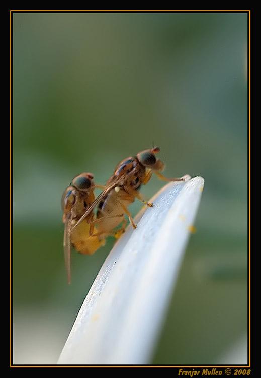 ¡OJO! es porno. Thaumatomyia notata (identificada por Amary) en Fauna y floraDSC03840nfr.jpg