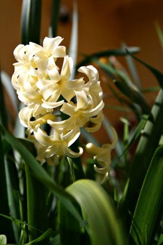 Day 86...2008 .hyacinth.