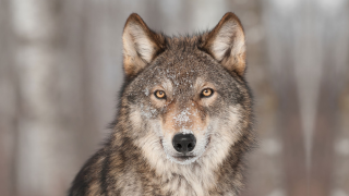 image of wolf in snow