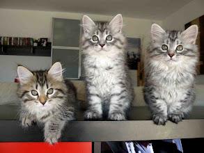 Photo: Quenzo (black tabby), Quimey (blue silver tabby) y Pluma (black silver tabby) - 2 meses