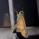 Ocola Skipper / Long-Winged Skipper