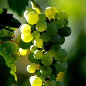 Wine on a Vine by Barb Moore - Food & Drink Fruits & Vegetables ( fruit, vineyard, grapes, vine, pwcfruit, circle, pwc79, color, colors, landscape, portrait, object, filter forge, Spring, springtime, outdoors, Food & Beverage, meal, Eat & Drink,  )