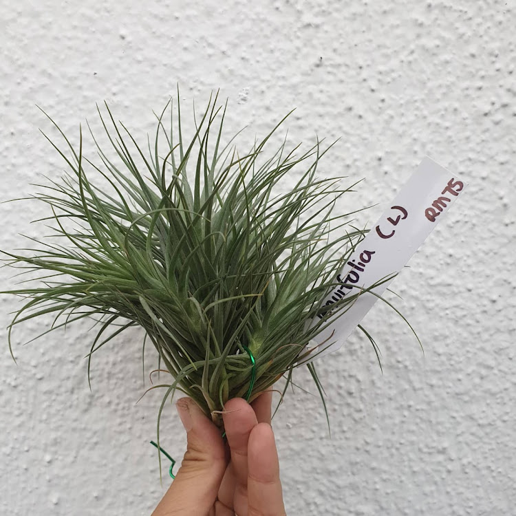 Tillandsia Tenuifolia Bush (L)