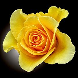 OLI rose 34 by Michael Moore - Flowers Single Flower