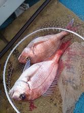 Photo: おおー!真鯛のダブル!しかもナイスサイズ! ・・・潮が速く重たさ倍増!