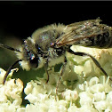Grey-banded mining bee