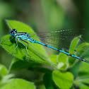 Caballito azul (Azure damselfly)