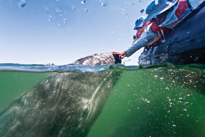 Have a close encounter with a gray whale during your Lindblad Expeditions tour of the Sea of Cortez in Baja.