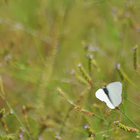 Butterfly by Belinda O'Connor - Nature Up Close Other Natural Objects ( butterfly, white butterfly )
