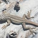White Sands prairie lizard