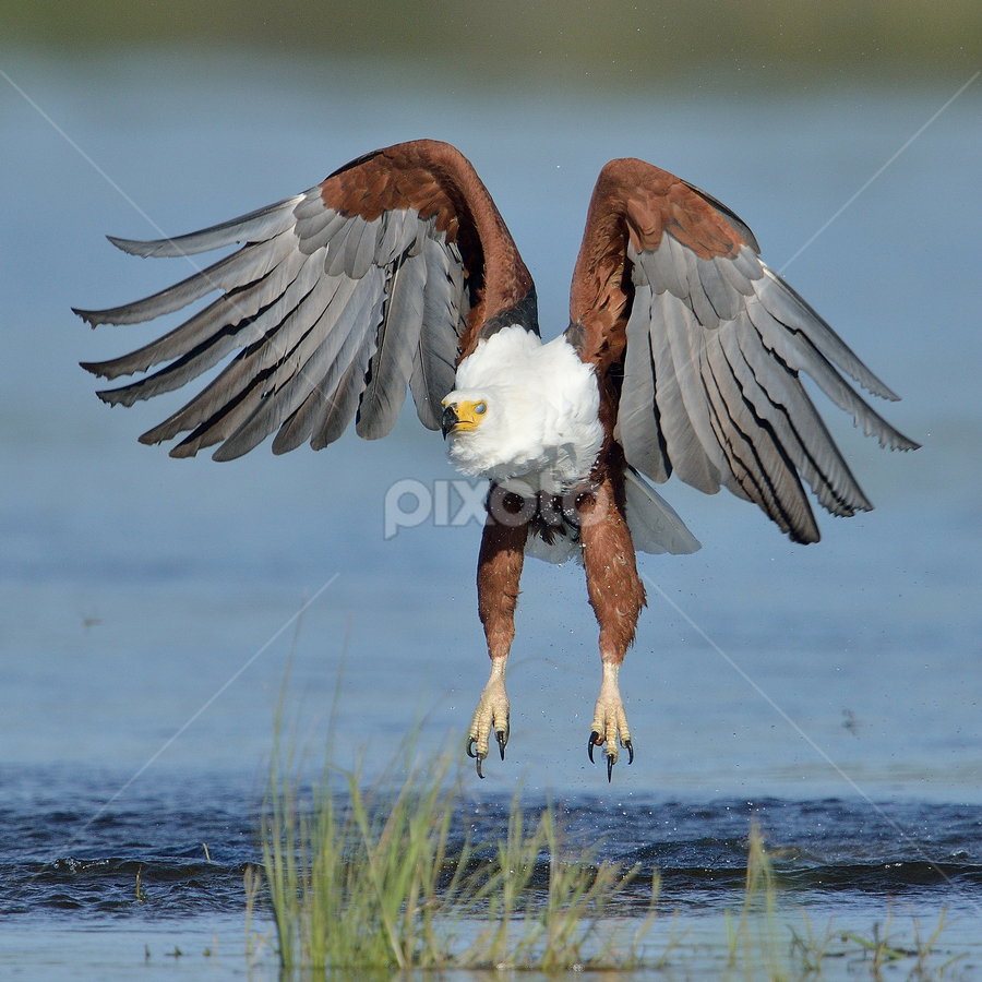Failure by Neal Cooper - Animals Birds ( african fish eagle )