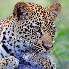 Posing! by Anthony Goldman - Animals Lions, Tigers & Big Cats ( leopard, cub 9 months, predator, nature, londolozi, big cat, wild, wildlife,  )