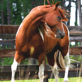 FLASHY GUY by Debby  Raskin - Animals Horses ( trot, equine, horse, paint, animal )
