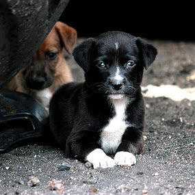 by Nirmal Kumar - Animals - Dogs Puppies