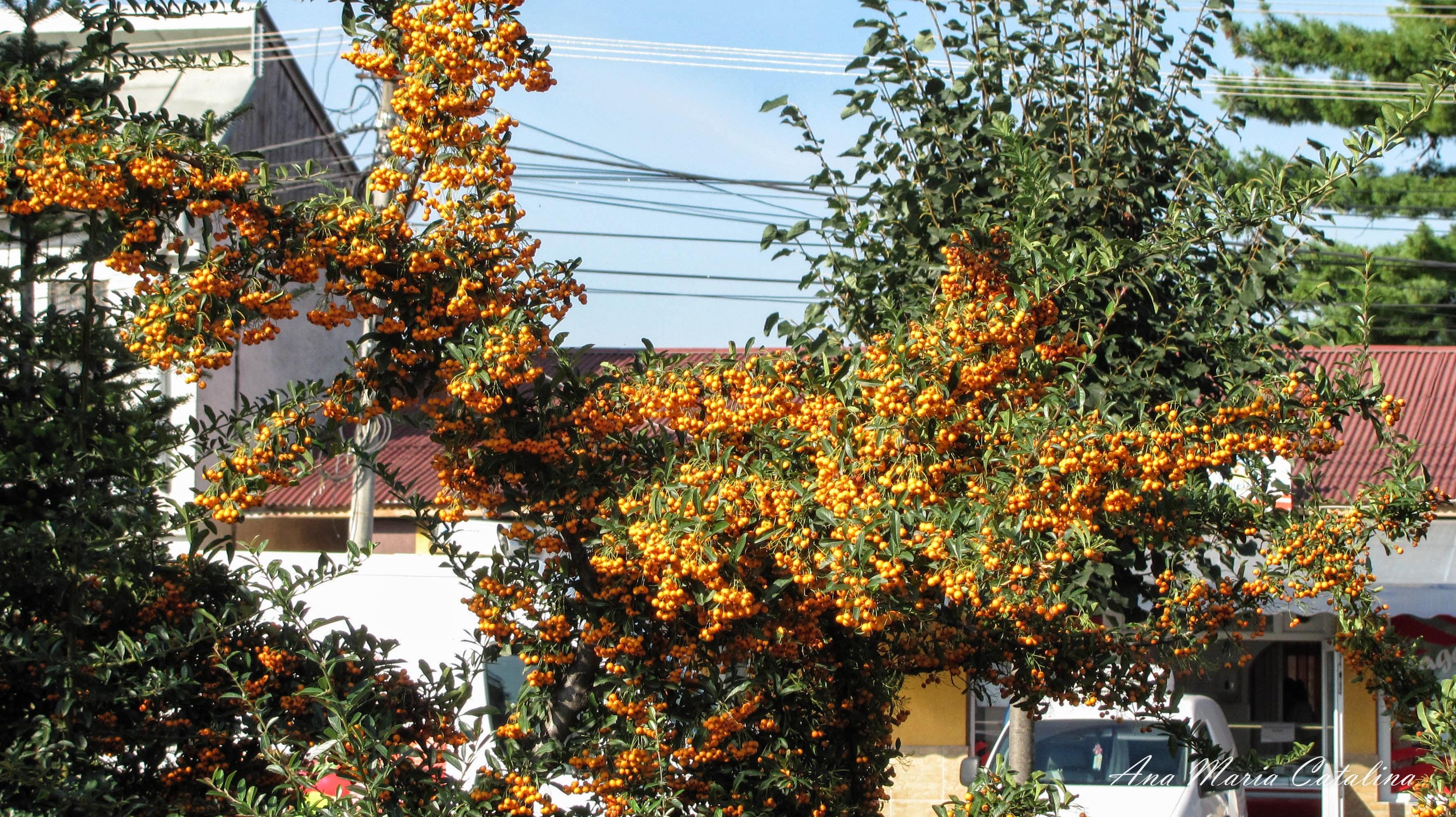 Photo: Pyracantha - din Parcul Teilor - (2014.09.17) album http://ana-maria-catalina.blogspot.ro/2016/05/pyracantha.html