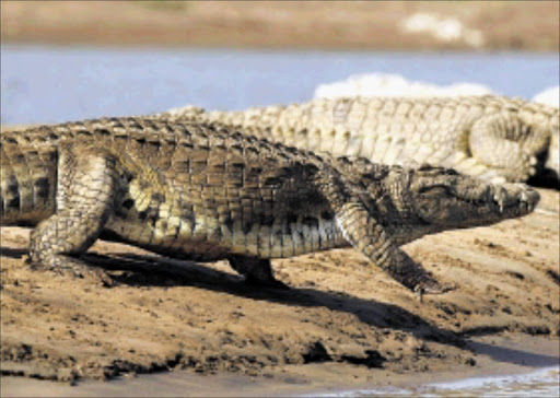 REPTILE DANGER: Crocodiles such as these two, which were spotted in the Olifants River Gorge, have been seen along the route of the Dusi Canoe Marathon. Pic.RAYMOND PRESTON. 02/07/2009. © ST   One of the healthy crocodiles in the Olifants River Gorge which is the biggest crocodile breeding site in Southern Africa. During a recent aerial survey, 385 crocodiles were spotted in the gorge.  Picture:RAYMOND PRESTON 2/7/2009  ------  15cm