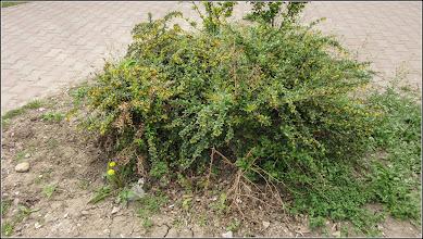 Photo: Berberis verruculosa - din Turda,  Calea Victoriei, spatiu verde - 2019.04.27