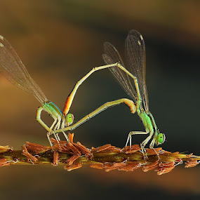 Story Of Love II  by Angga Putra - Animals Insects & Spiders ( damselfly )