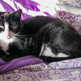 Albert by Jill Zwick - Animals - Cats Portraits ( male cats, pet portrait, cats, pet photography, cat portrait )