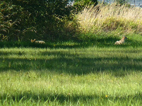 Photo: These two Coyote pups would not venture far out from cover.