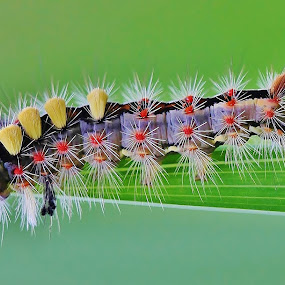 Vapourer Caterpillar  by Deleted Deleted - Animals Insects & Spiders