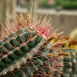 Cactus II by Jomabesa Jmb - Nature Up Close Other plants ( botanico, naturaleza, jardin,  )