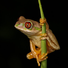 Hanging Onto Green Stem by David Knox-Whitehead - Animals Amphibians ( black background, tree frogs, frogs, amphibians, eyes )