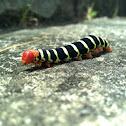 Frangipani Hornworm Caterpillar