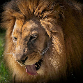 by William Underwood  - Animals Lions, Tigers & Big Cats