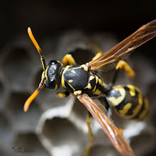 Photo: Avispa con Nikon D7100