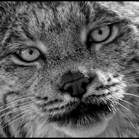 Lynx by Dave Lipchen - Black & White Animals