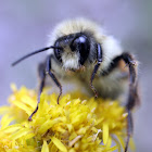 Two-ranked Bumble Bee