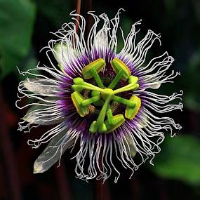 by Benny Sugiarto Eko Wardojo - Flowers Single Flower
