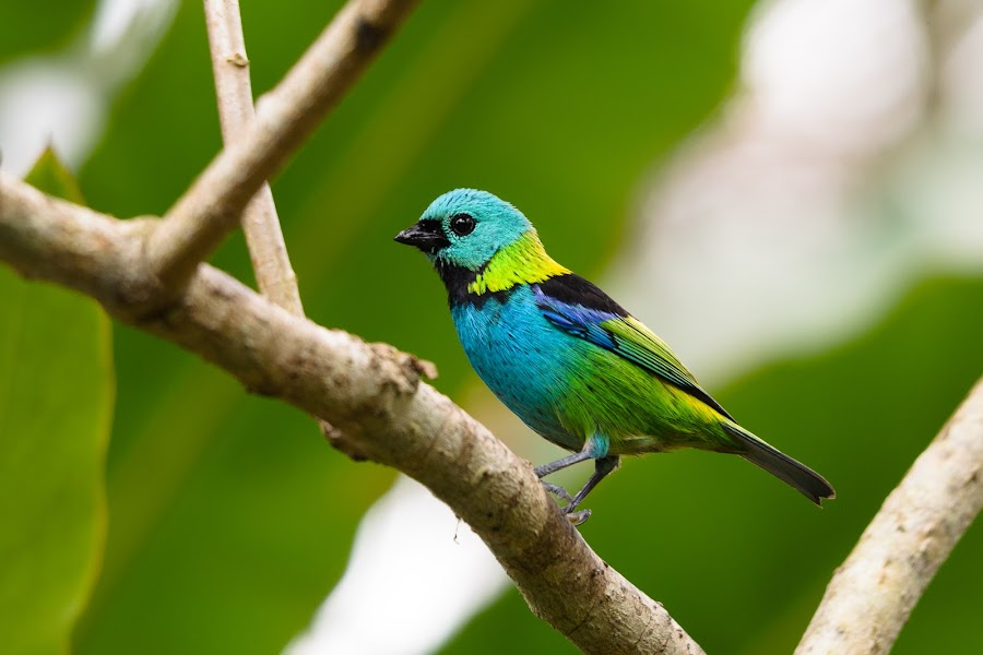 Green-headed Tanager by Sybrand de Bruin - Animals Birds