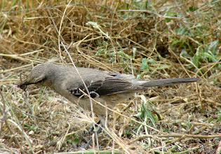 Photo: Patagonian mockingbird - Punta Cantor -  Valdes Peninsula - Argentina - Nov 26, 2010