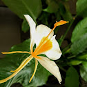 Butterfly Ginger Lily