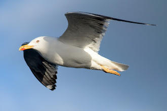 Photo: Great Black-backed Gull (Mantelmöve); Stykkishólmur, ISL